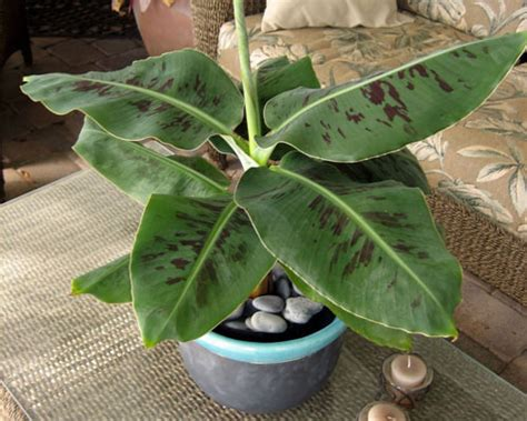 tiny musa banana tree bananas add some tropical to your garden just fruits and