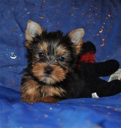 gold yorkie puppies parti yorkies golden yorkies yorkie puppies