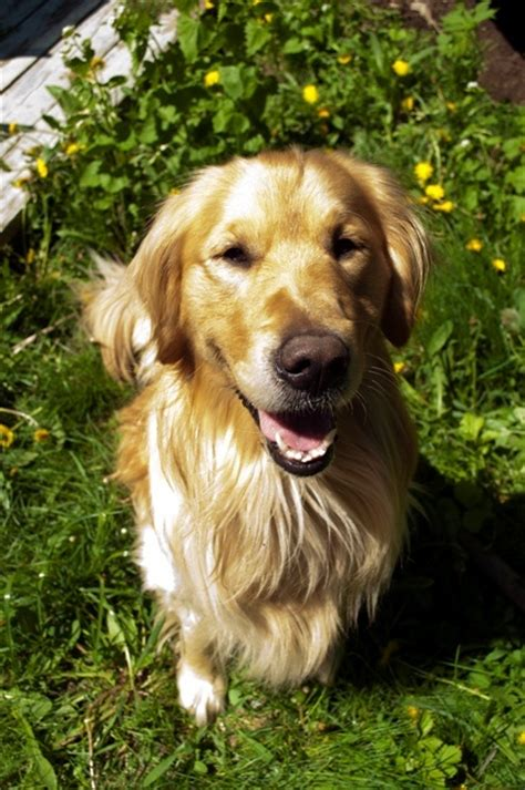 growls golden retriever rescue 1000 images about adoptable goldens on adoption other and golden