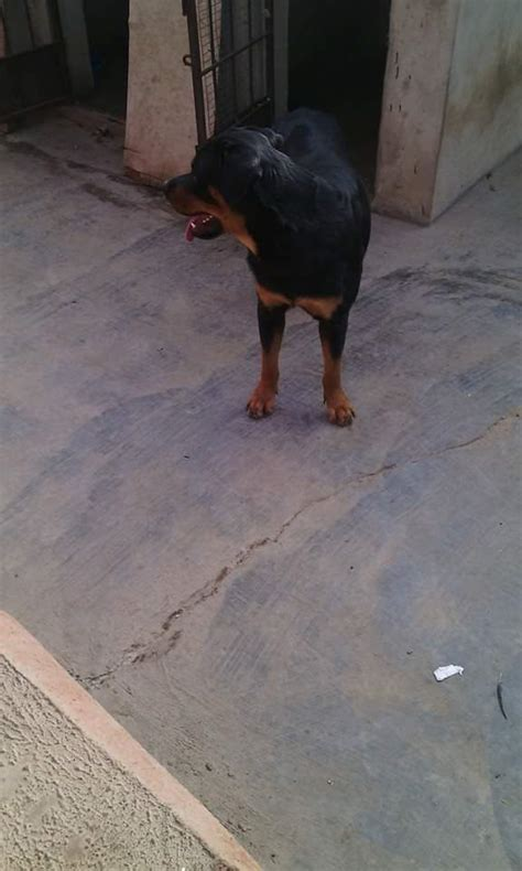 rottweiler beastiality pedigree beast box rottweiler puppies for sale pets nigeria