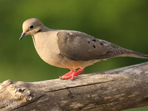 mourning dove wild delightwild delight