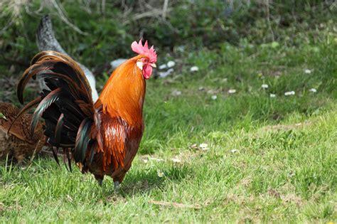 gallo a ti narrando cada jueves el gallo de lilia mart 237 n abreu