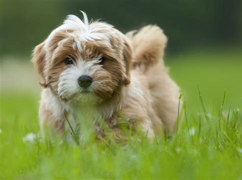 traits of havanese dogs what are the unique characteristics of havanese puppies