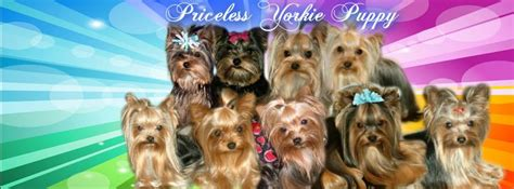 tiny teacup yorkie puppies for sale in michigan michigan teacup terrier puppy breeder tiny teacup yorkie puppies for sale