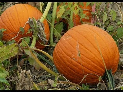 when to plant pumpkin seeds for hqdefault jpg