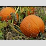 Pumpkins Growing   480 x 360 jpeg 51kB