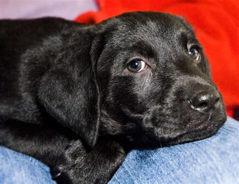 labrador puppies information black lab puppy information pets
