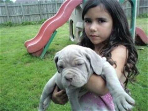 mastiff puppies for sale in nc neapolitan mastiff puppies in ohio