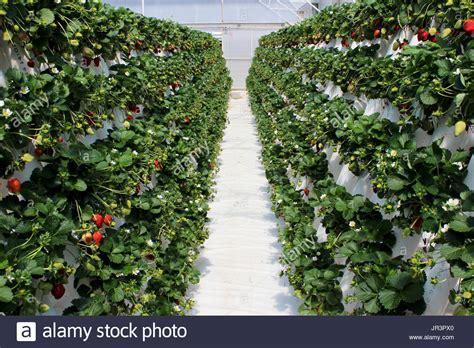 vertical gardening strawberries garden ftempo