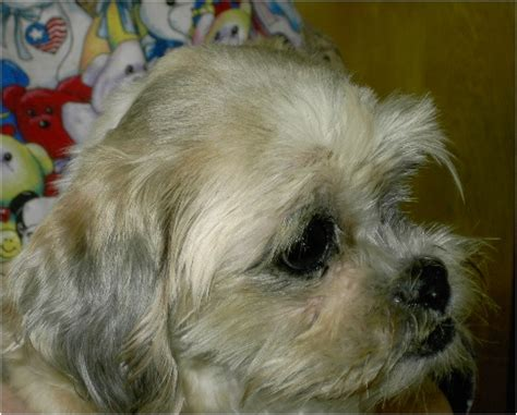 shih tzu rescue canada lhasa apso rescue breeds picture