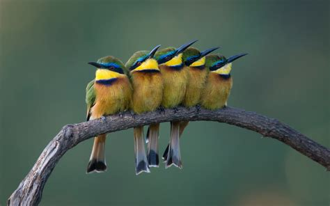 bee eater wallpapers first hd wallpapers bee eater wallpapers pictures images