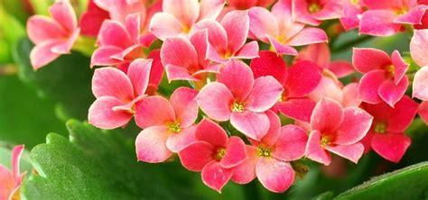 pianta grassa fiori fucsia pianta grassa con fiori fucsia pianta grassa echinopsis