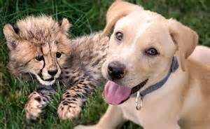 cheetah puppy how a cheetah cub and puppy became best of friends 171 twistedsifter