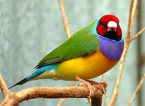 the gouldian finch beautiful bird the wildlife