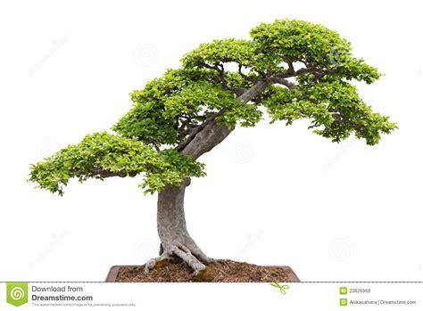 white and green tree green bonsai tree on white background royalty free stock