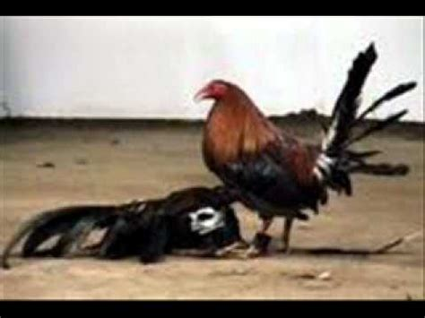 chelo papeleta vs sainel videos de gallos el gallo de mil palenques youtube