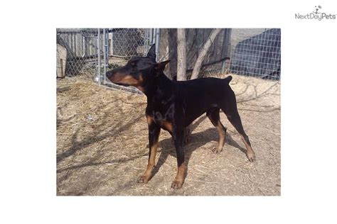 doberman puppies for sale dallas tx doberman puppies for sale in dallas blue doberman pinscher breeds picture