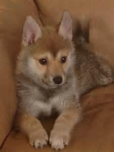 Pomsky breeders pomsky puppies pomsky puppies for sale pomsky