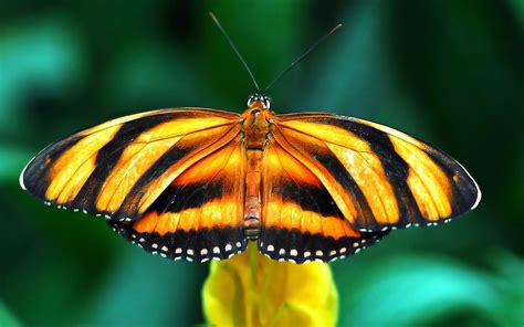black wallpaper with yellow butterflies yellow and black butterfly animal