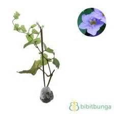 Tanaman Thunbergia Biru Blue Clock Vine tanaman anggur prince bibitbunga