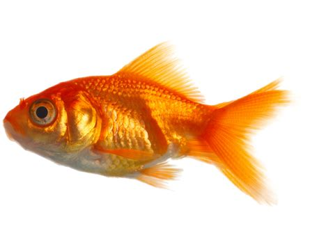 Reel Golden Fish Nimo 351 hq fish png transparent fish png images pluspng
