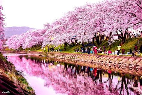 imagenes de sakura japon entra si te gustan las flores de cerezo im 225 genes taringa