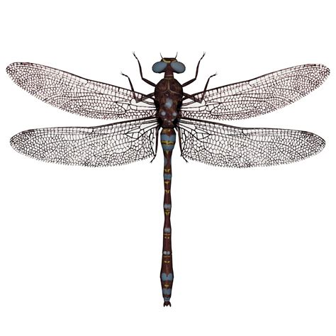 images of dragonflies dragonfly free stock photo domain pictures