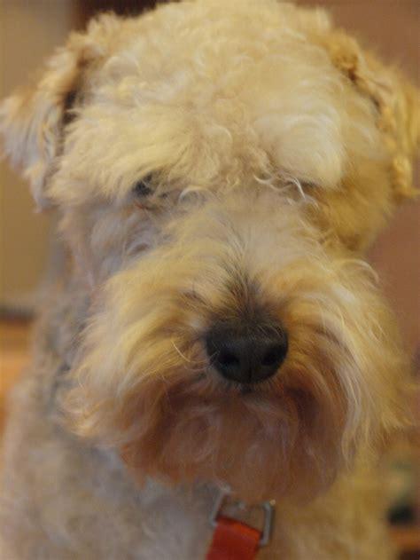 photos of lakeland terriors hair styles 140 best images about lakeland terrier on pinterest