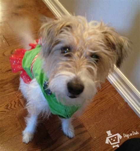 pug wire hair terrier pics for gt wire haired fox terrier mix