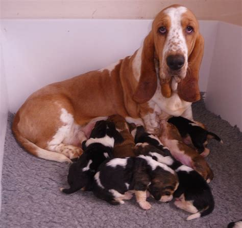 basset hound puppy rescue hound dogs breeds picture