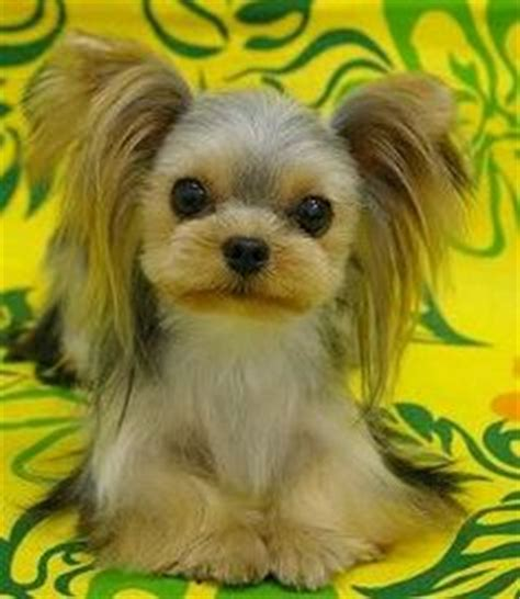 japanese style grooming yorkie 1000 images about amazing grooming on japanese style poodles and