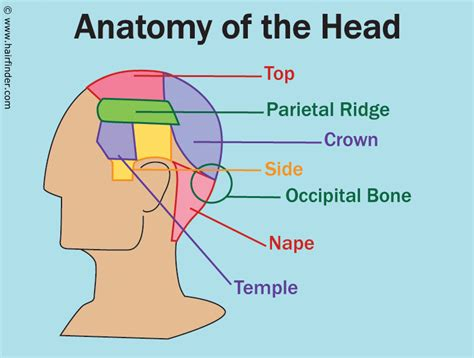 hair extensions for the crown of your head anatomy of face bones human anatomy charts