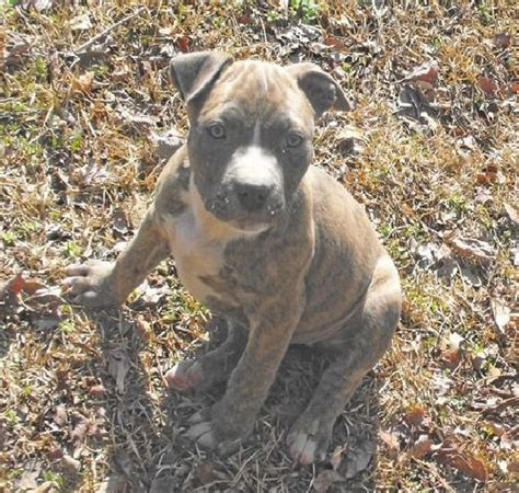 pits for sale australia american pit bull terrier puppies for sale adoption from