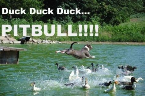 Funny Duck Meme - duck duck funny animal pictures