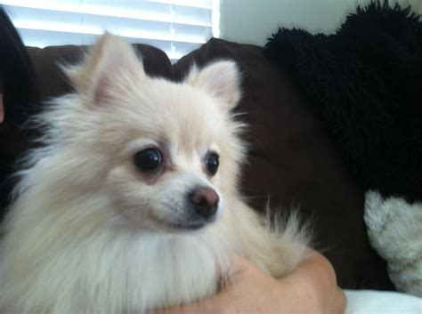 pomeranian hair care fido alert pippa the pomeranian care animal hospital