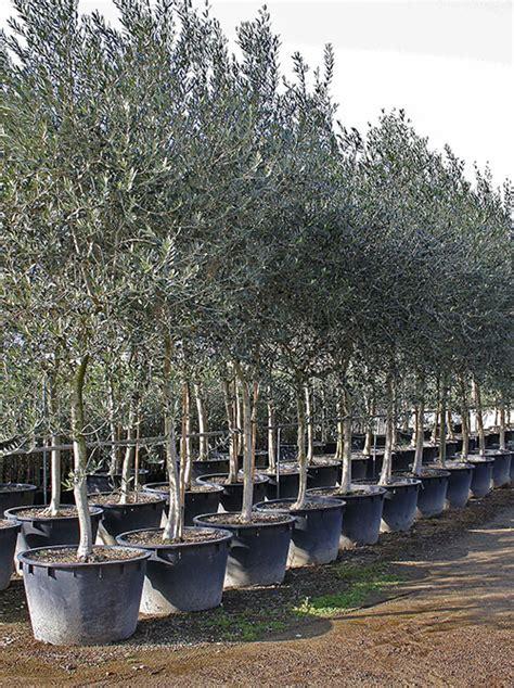 ulivo in vaso prezzo piante olivo prezzi piante olivo prezzi vivai olivi