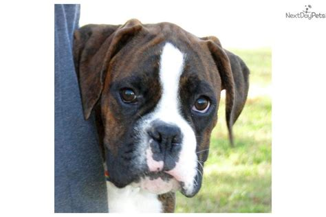 boxer puppies for sale near me boxer for sale for 1 250 near tulsa oklahoma 0b8228fb 44e1