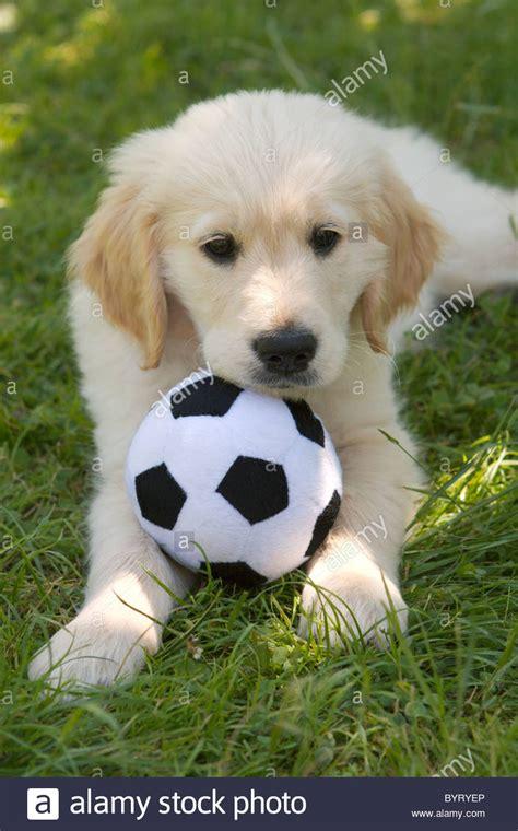 golden retriever school pet obedience school golden retriever puppy with soccer stock photo royalty
