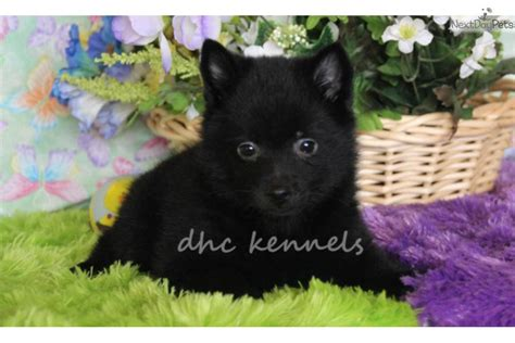 akc schipperke puppies for sale schipperke puppies for sale akc reg schipperke puppies for sale breeds picture