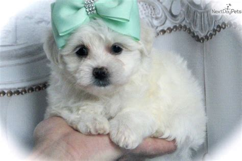 maltese puppies for sale in indiana maltese puppy for sale near fort wayne indiana fedcb4cc f0b1