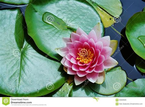 lotus flower pad pink lotus flower and pads in pond stock photo