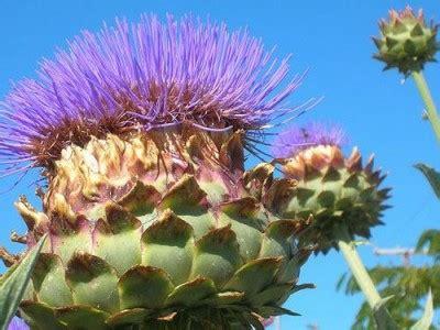 lotus root uses and its health benefits veggies info