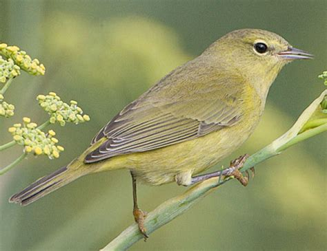 bird species orange crowned warbler