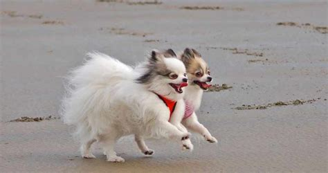 what were pomeranians bred for pomeranian breed standards