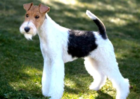 wire hair fox terrier puppies wirehaired fox terriers for adoption breeds picture