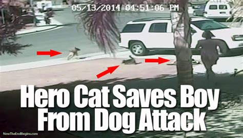 cat saves boy from brave cat saves boy from vicious attack veterinary secrets with dr