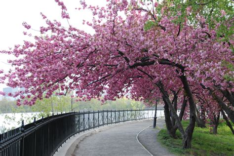 cherry bloosom tree you can make the sun shine anytime cherry blossom math