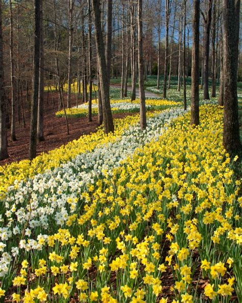 gibbs gardens 2015 daffodil festival begins feb 28 come see 20 million blooms cover 50 acres