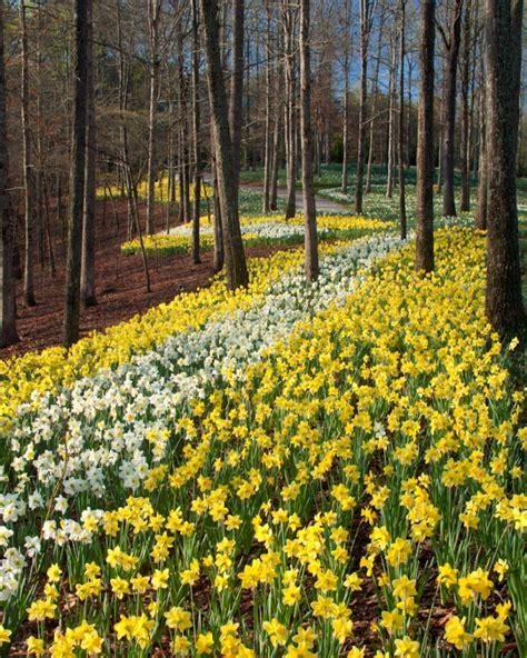 Gibbs Garden by Gibbs Gardens 2015 Daffodil Festival Begins Feb 28 Come