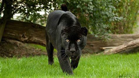 black jaguar animals jaguar wallpaper animal black